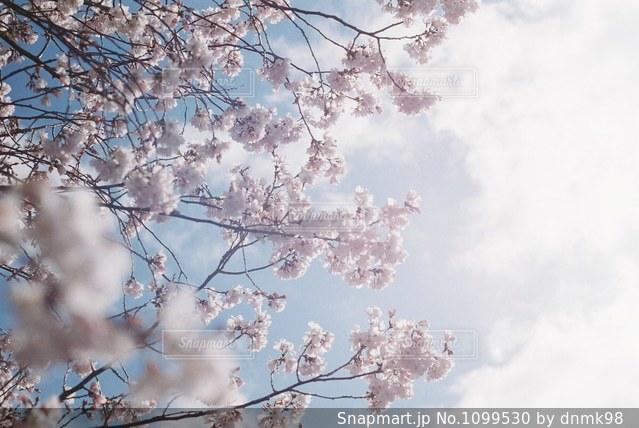 青空と桜の写真・画像素材[1099530]