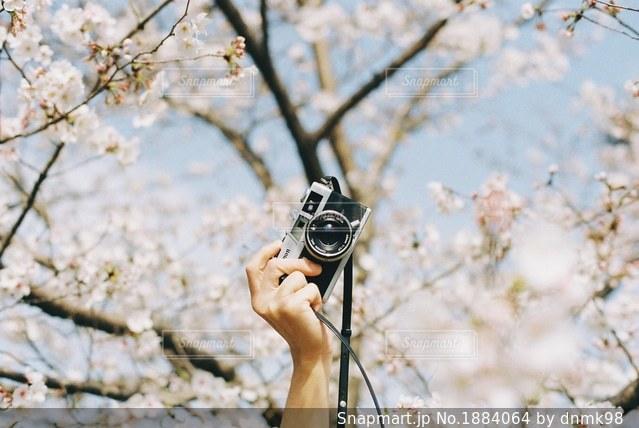 桜並木をお散歩の写真・画像素材[1884064]