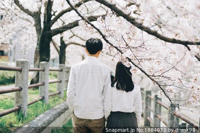 桜並木をお散歩の写真・画像素材[1884073]