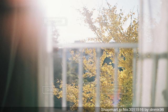 朝日に照らされるイチョウの写真・画像素材[3011516]