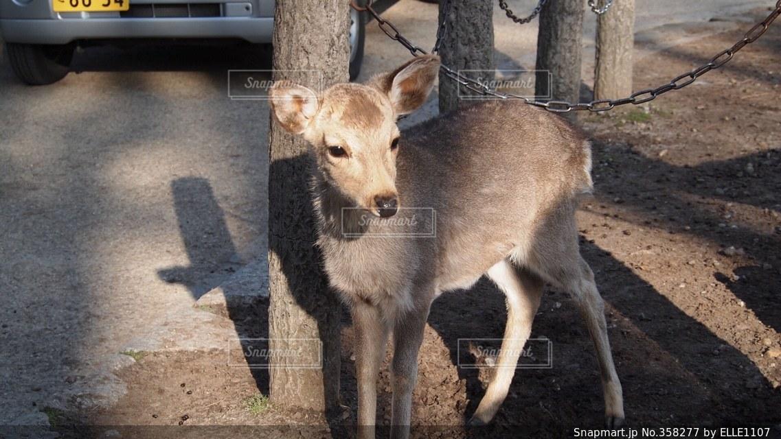 動物,癒し,可愛い,鹿,生き物,奈良,バンビ,小鹿