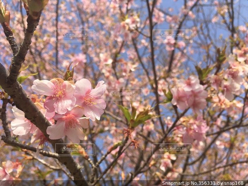 春,桜,花見,Spring,chrryblossome
