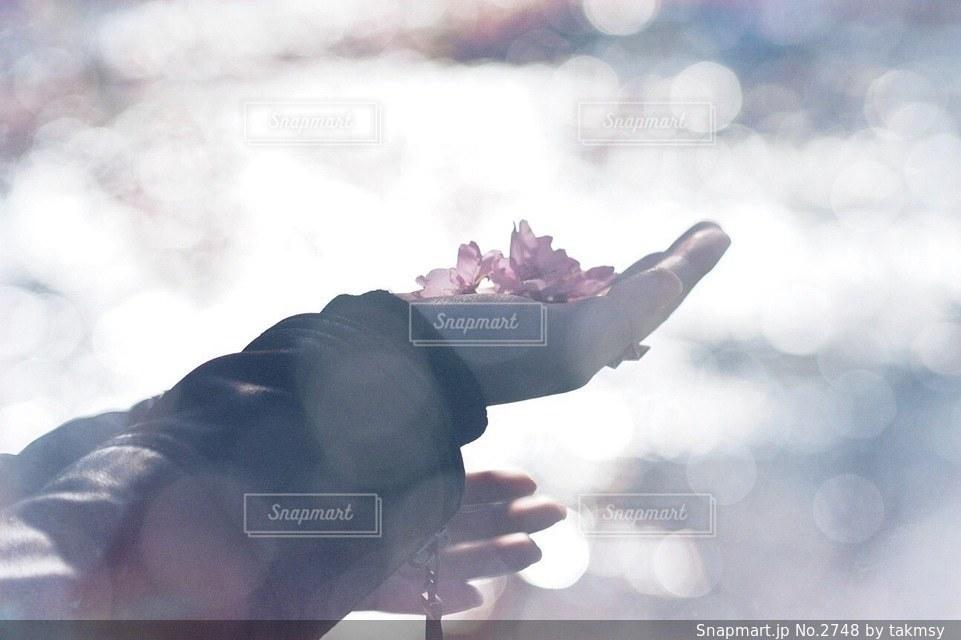 桜の写真・画像素材[2748]