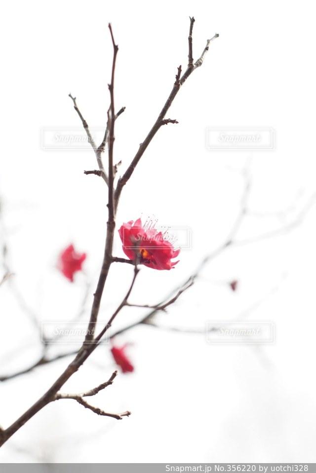 春,白,梅,お花見