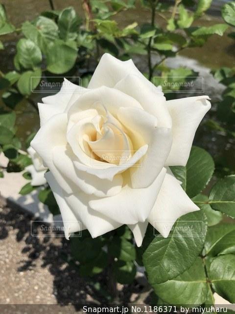 近くの花のアップの写真・画像素材[1186371]