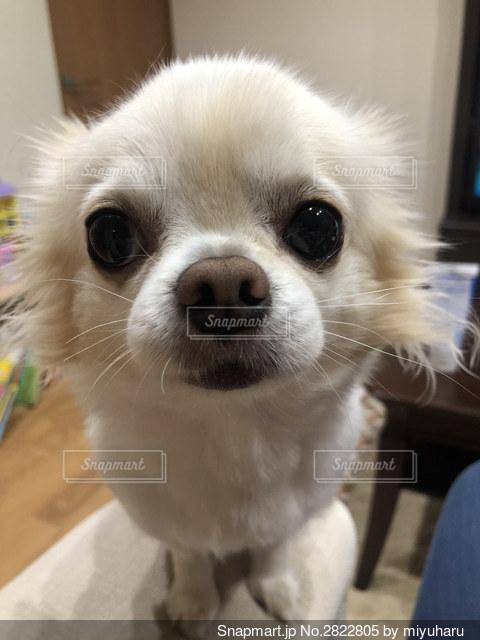 カメラを見ている小さな白い犬の写真・画像素材[2822805]