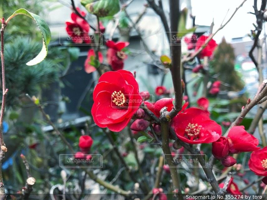 自然,花,春,冬,庭,ピンク,赤,枝,葉,季節,つぼみ,ボケ,咲く,ボケの花