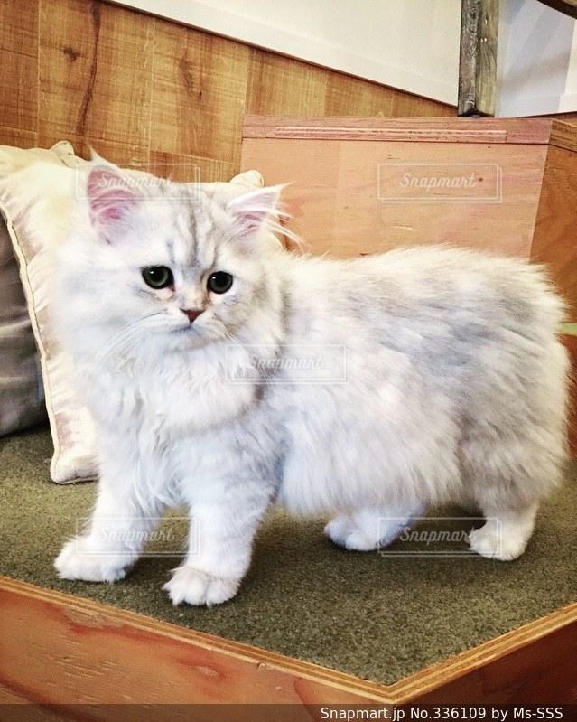 猫の写真・画像素材[336109]