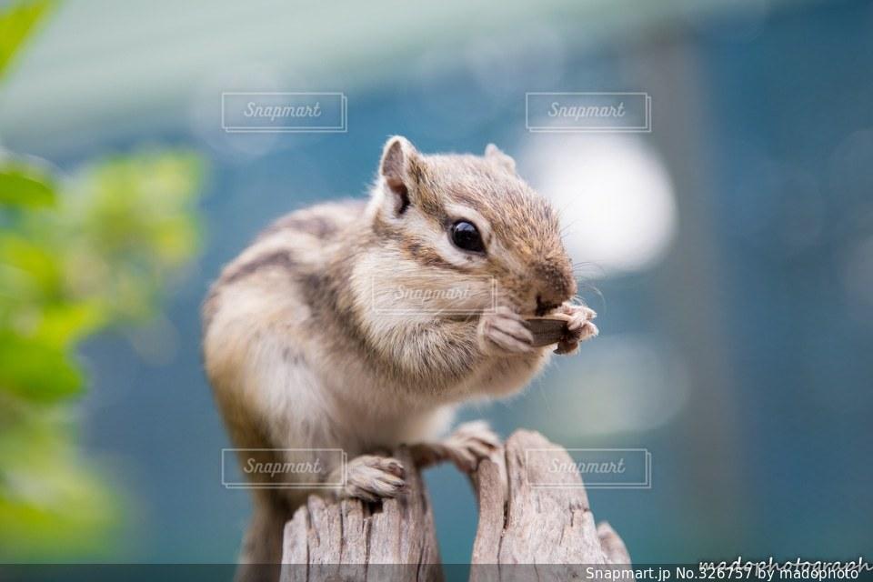 自然,動物,野生動物,かわいい,北海道,リス,小動物,シマリス