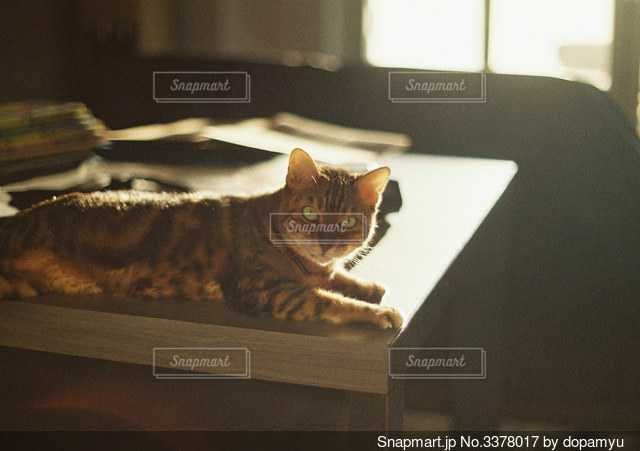テーブルの上に座っている猫の写真・画像素材[3378017]