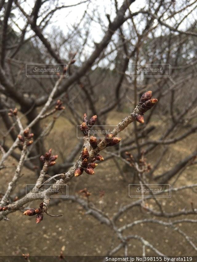 桜,つぼみ,蕾,桜の蕾,桜のつぼみ