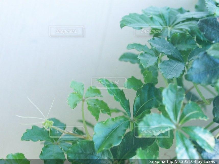 インテリア,緑,室内,新緑,観葉植物,グリーン,シュガーバイン,新生活,潤い