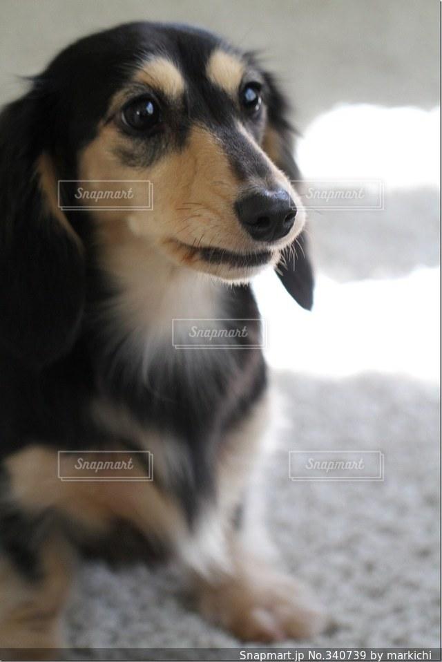 犬の写真・画像素材[340739]