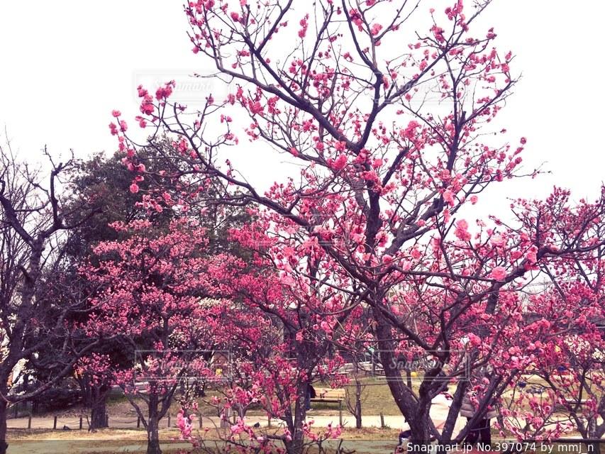 風景,春,カメラ,桜,カメラ女子,京都,梅,花見,お花見,写真,iphone,canon,camera,photo,梅小路公園
