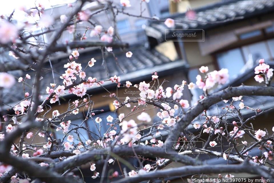 風景,春,カメラ,桜,カメラ女子,京都,梅,花見,お花見,写真,iphone,祇園,canon,camera,photo