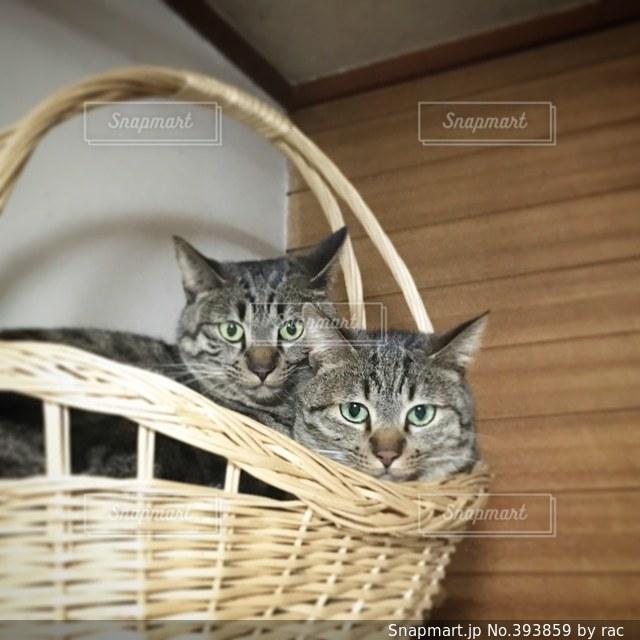 猫,キジトラ,カゴ猫,よもぎ猫