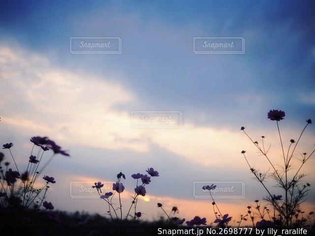夕焼け空と秋桜の写真・画像素材[2698777]