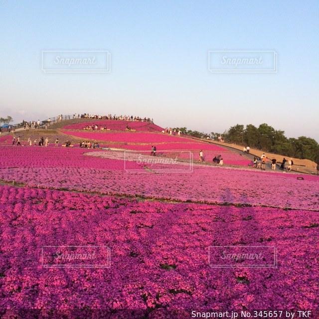 芝桜の写真・画像素材[345657]