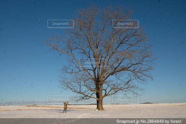 豊頃ののシンボルはるにれの木の写真・画像素材[2864849]
