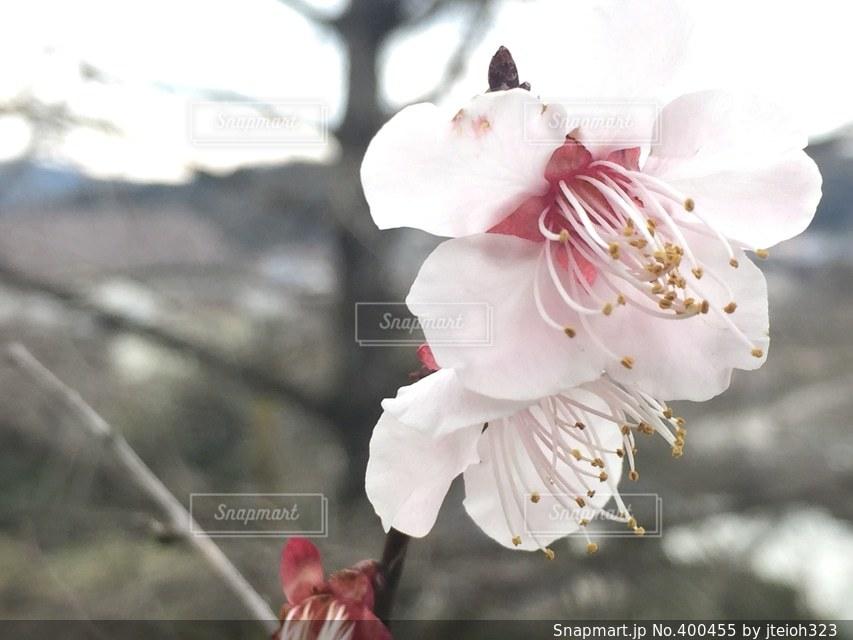 桜,桜の花,ソメイヨシノ,香り,さくら,うす紅