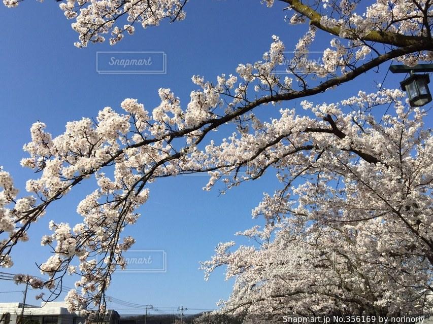 空,公園,春,桜,入学