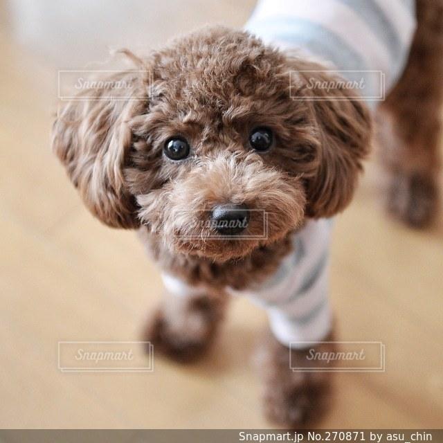 犬の写真・画像素材[270871]