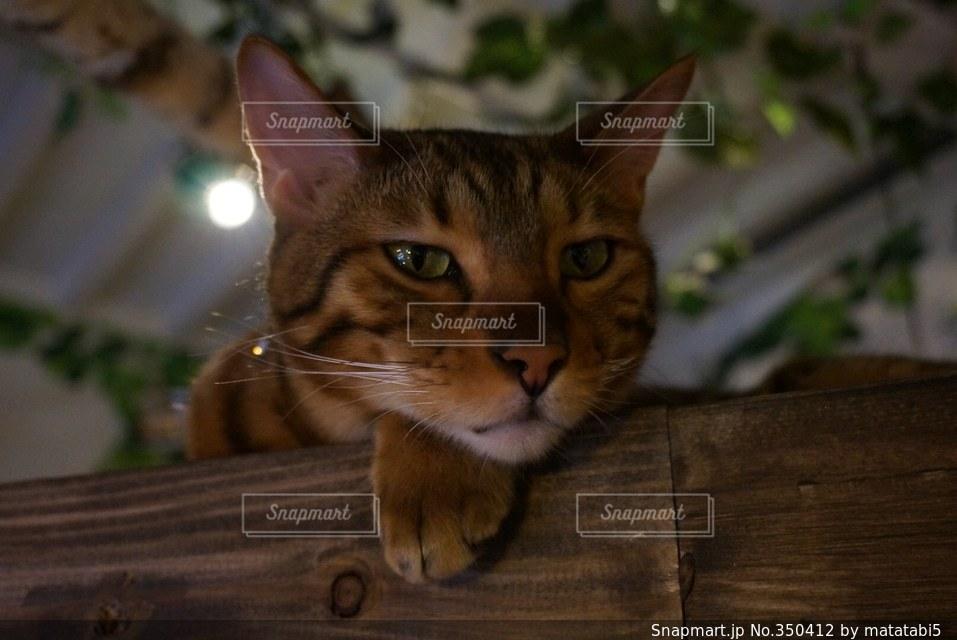 猫の写真・画像素材[350412]