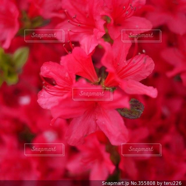 自然,花,春,赤,ツツジ