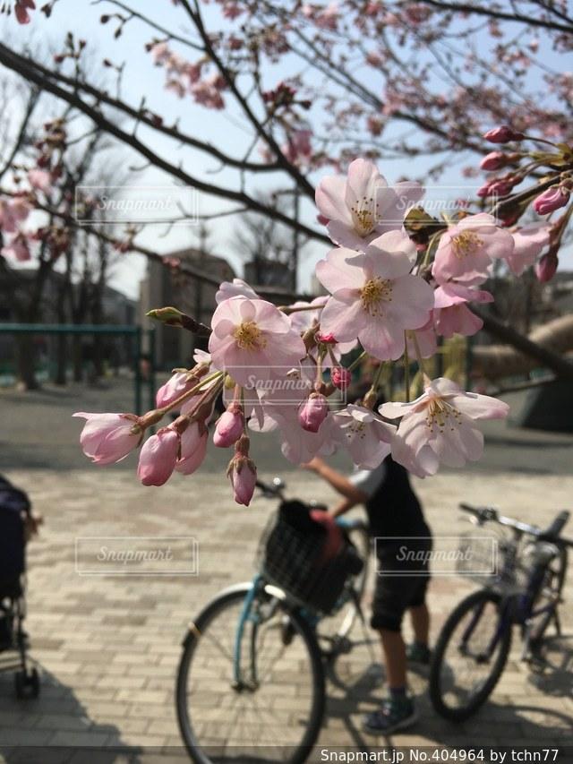公園,桜,自転車,男子,子供,遊ぶ