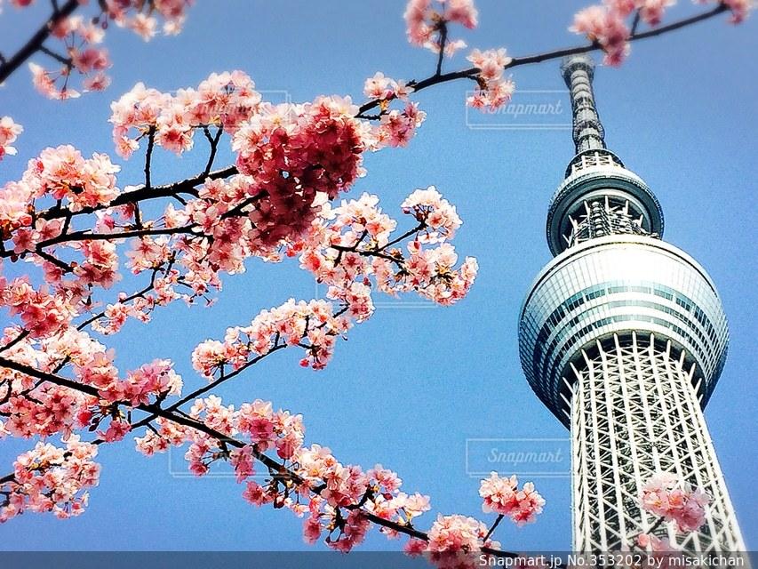 春,桜,ピンク,青空,晴天,スカイツリーの写真素材