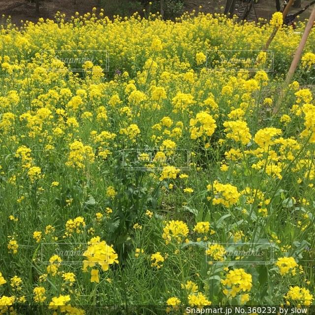花,花畑,きれい,菜の花,景色