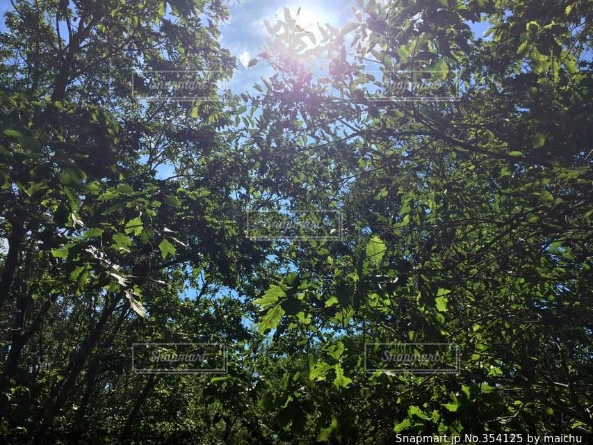 自然,風景,空,夏,森林,木,太陽,森,緑,青空,葉っぱ,光,森林浴,8月,見上げた