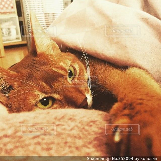 猫,ねこ,布団,毛布,アビシニアン,ネコ