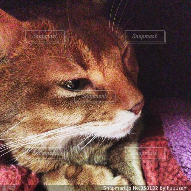 猫,ねこ,毛布,アビシニアン,ネコ