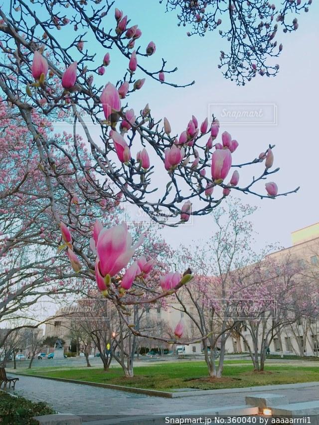 風景,空,公園,建物,花,木,アメリカ,旅行,ワシントンDC,DC,外国の景色,ピンクのお花
