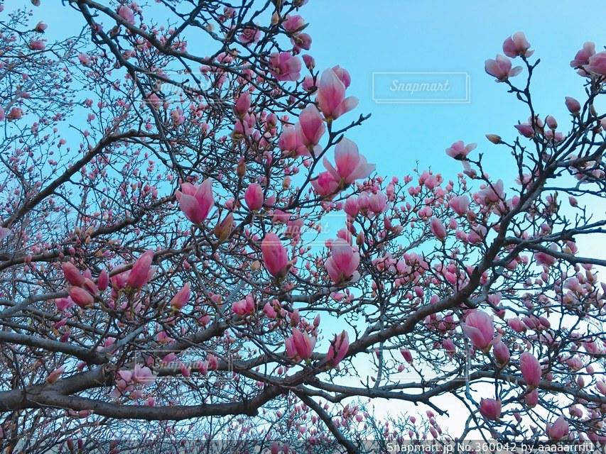 風景,空,公園,花,春,木,アメリカ,旅行,DC,外国の景色,ピンクのお花