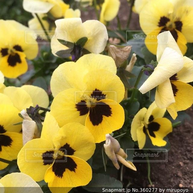 花,春,黄色い花,ビオラ