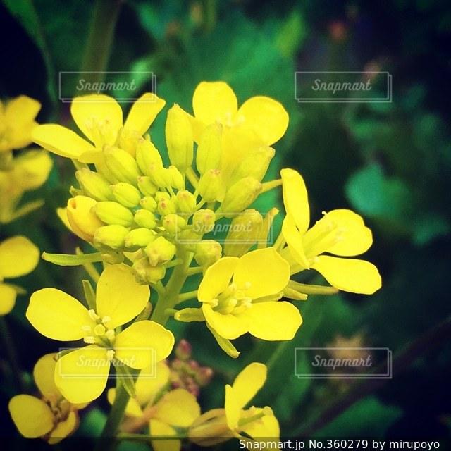 花,春,菜の花,明るい