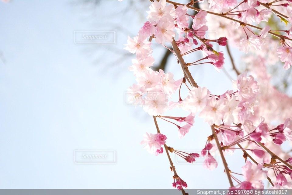 春,桜,京都,綺麗,青空,花見,お花見,KYOTO,東寺,淡い