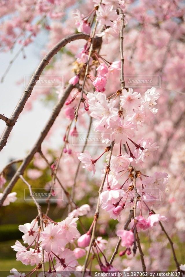 桜,カメラ女子,京都,綺麗,青空,花見,お花見,KYOTO,東寺,淡い