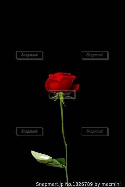 赤いバラの花 黒背景の写真・画像素材[1826789]