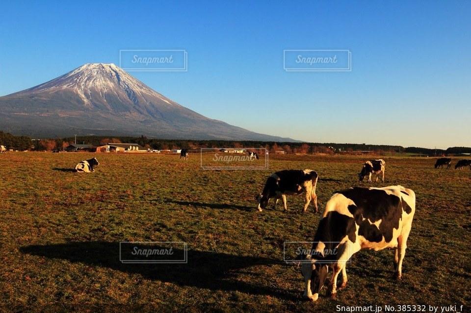 風景,動物,富士山,晴れ,夕暮れ,牛,牧場,牛肉,アニマル,牛乳