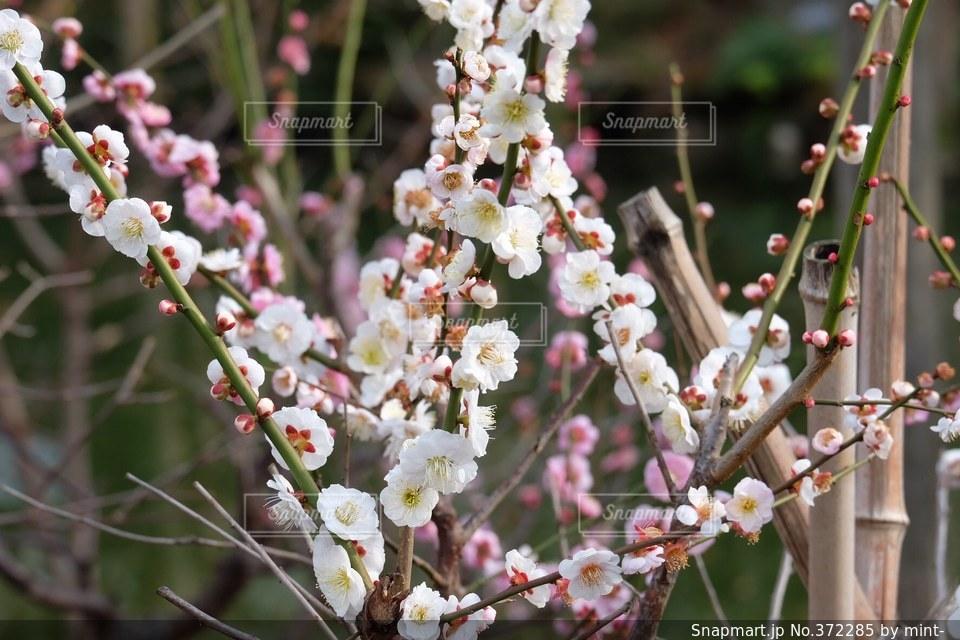 自然,花,春,梅,枝,正月,お正月,和,梅の木,梅の花,初春,紅梅,白梅,梅見,晩冬
