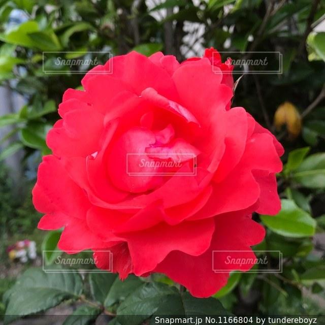 赤い花の写真・画像素材[1166804]