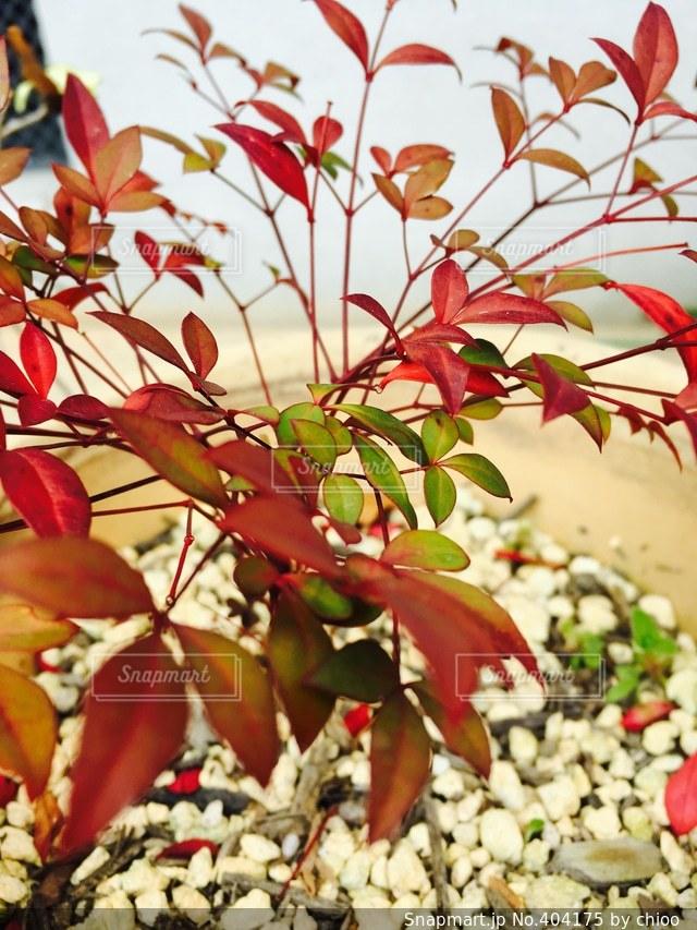 自然,木,赤,葉,植木鉢,植木,はっぱ,南天