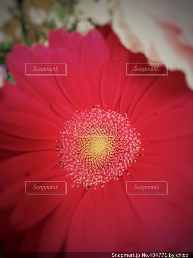 花,植物,赤,花束,はな,ガーベラ