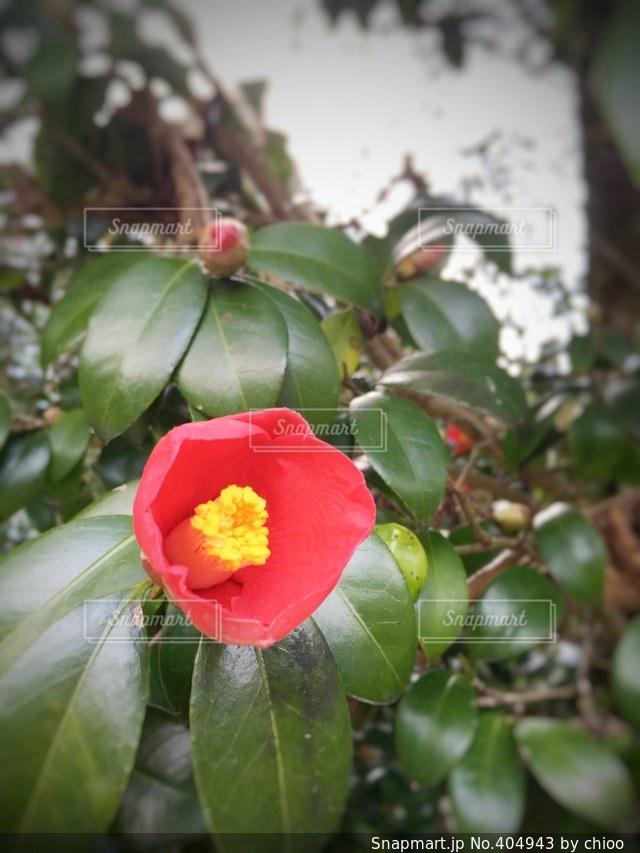 自然,花,植物,赤,みどり,はな,ツバキ,はっぱ,つばき