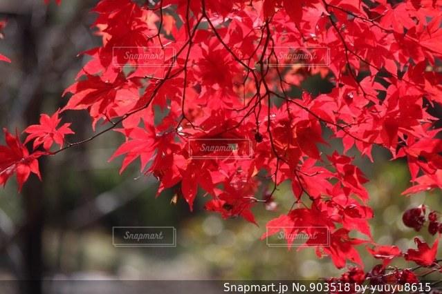 紅葉の写真・画像素材[903518]