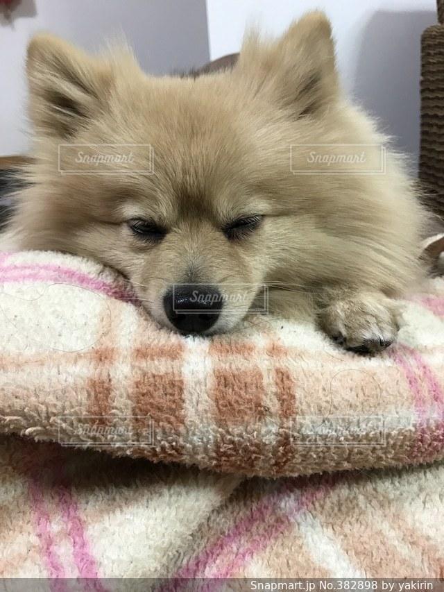 ポメラニアン,寝顔,眠い,寝落ち,ポメ,オレンジセーブル