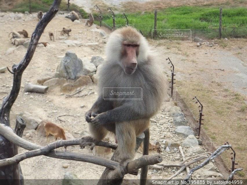 猿,動物,かっこいい,アドベンチャーワールド,格好良い,圧巻,サル,さる